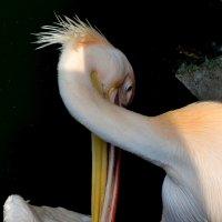 розовый пеликан 2 :: Сергей Короленко