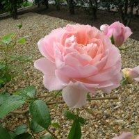 Утренняя роза :: Юрий