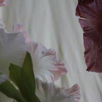 Два гладиолуса :: Наталья Золотых-Сибирская