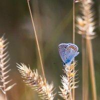 Голубянка Икар... :: Алёна