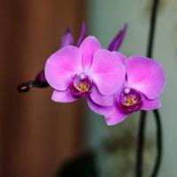 орхидея :: Сергей Сол