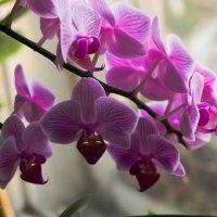 орхидеи :: Анатолий Чернышев