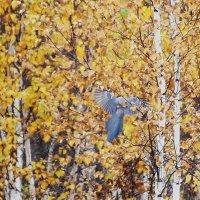 Синяя птица забайкальских лесов) :: Анна