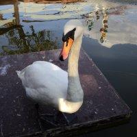 Лебедь на пруду :: Ириша ****