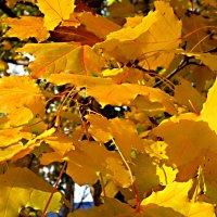 Золотые листья клена кружат :: Елена Семигина