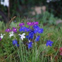 Лобелия трёх цветов! :: Natalia Harries
