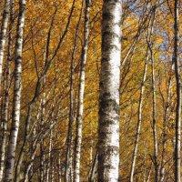Золотая осень :: Елена Якушина