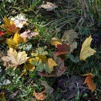 Кленовые листья :: Людмила Якимова