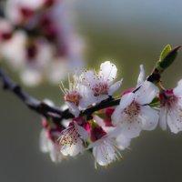 цветение абрикоса :: Надежда Щупленкова