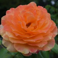 Роза в сентябре. :: Лилия Дмитриева