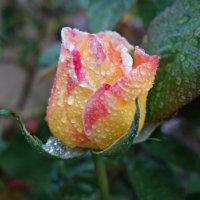 """""""Дождь осенний моросит, С листьев капельки слетают..."""" :: Galina Dzubina"""