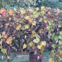 Наш виноград :: Дмитрий Никитин
