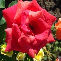 Роза на клумбе :: марина ковшова