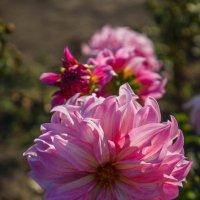«…Шапками соцветий в утро октября Смотрят георгины, нежность нам даря.» :: Андрей Нибылица