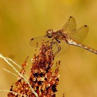 стрекозы сухой травы 4 :: Александр Прокудин