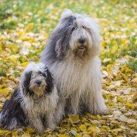 на ковре из желтых листьев... :: Лариса Батурова