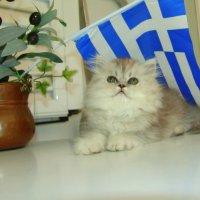 Персидская шиншилла под греческим флагом. :: Оля Богданович