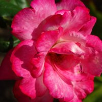 сентябрьские розы...7 :: Тамара (st.tamara)