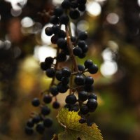 Молдавский виноград (Тараклия) :: Марина Цуркан