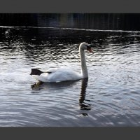 Лебедь :: vadim