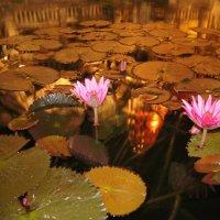 Водяные лилии :: Наташа Федорова