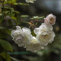 Ноябрьские розы. :: Виктор Чепишко