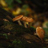 Опята в Рязанском лесу :: Ирина Демидова