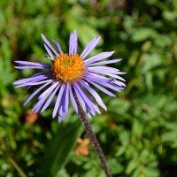 Горный цветок :: Александр Шацких