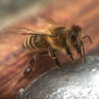 Просто пчелка :: kristina