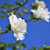Белый куст маленьких роз.(садовый гибискус) :: Оля Богданович