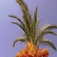 Финиковая пальма. :: Мила Бовкун
