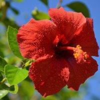 Гибискус,красная роза,каркаде. :: Оля Богданович