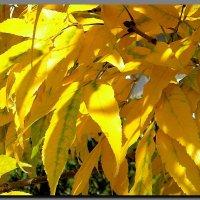 листья  жёлтые  ...   осень  2016. :: Ivana