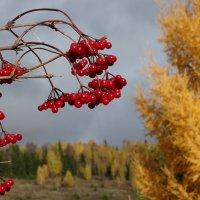 Жёлто-калиновая осень :: Валерий Чепкасов