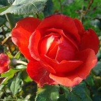 Осенняя роза :: марина ковшова