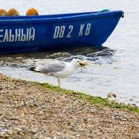 обед чайки :: Oksana Verkhoglyad