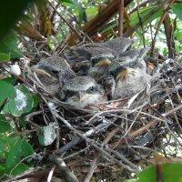 птенцы в кустах жимолости :: Ирина Арефьева