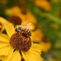 Пчела :: Ирина Иванова