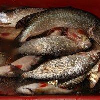 Рыба,картошка,грибы да ягоды-основная пища местных аборигенов. :: Евгений Усатов