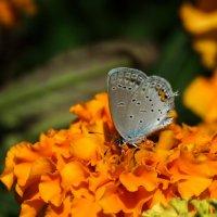 Осенняя голубянка :: Павел Руденко