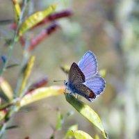 Голубянка горошковая :: лиана алексеева