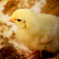 цыпленок :: Кристина Громова
