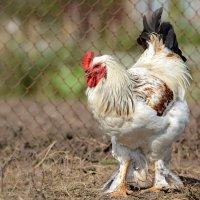 А как же курица без петуха? :: Светлана Ивановна Медведева