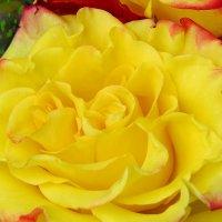 Жёлтые розы... :: Светлана