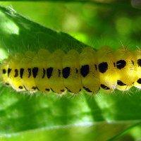 Солнечная гусеничка. :: оля san-alondra