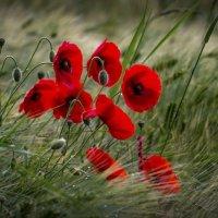 красные маки :: olgert6969