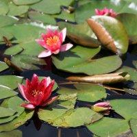 цветы на воде :: Олег Лукьянов