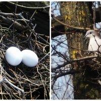 Гнездо голубя :: Татьяна Королёва