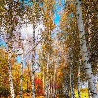 Осень в берёзах :: Вадим