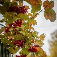 Алая гроздь рябины :: Настя